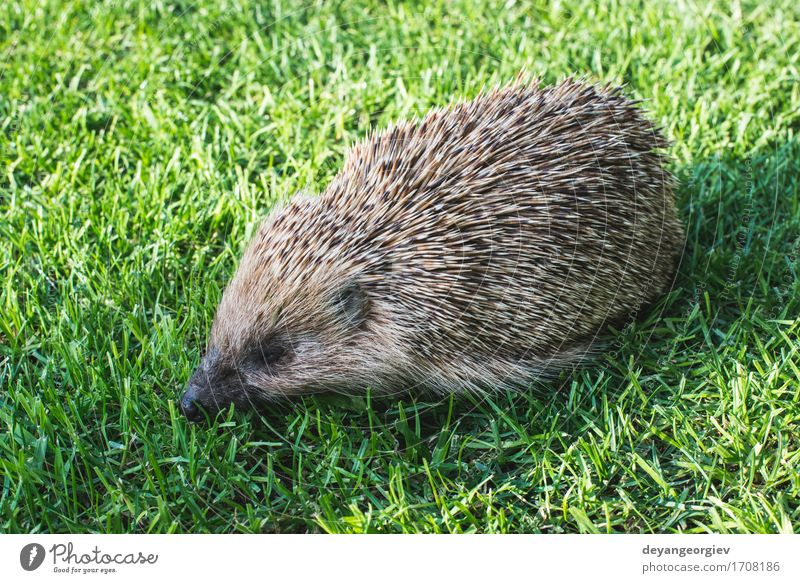 Hedgehog on a mountain meadow Summer Garden Nature Plant Animal Grass Forest Small Natural Thorny Wild Brown Green Lawn Mammal wildlife spiny Bristles defense