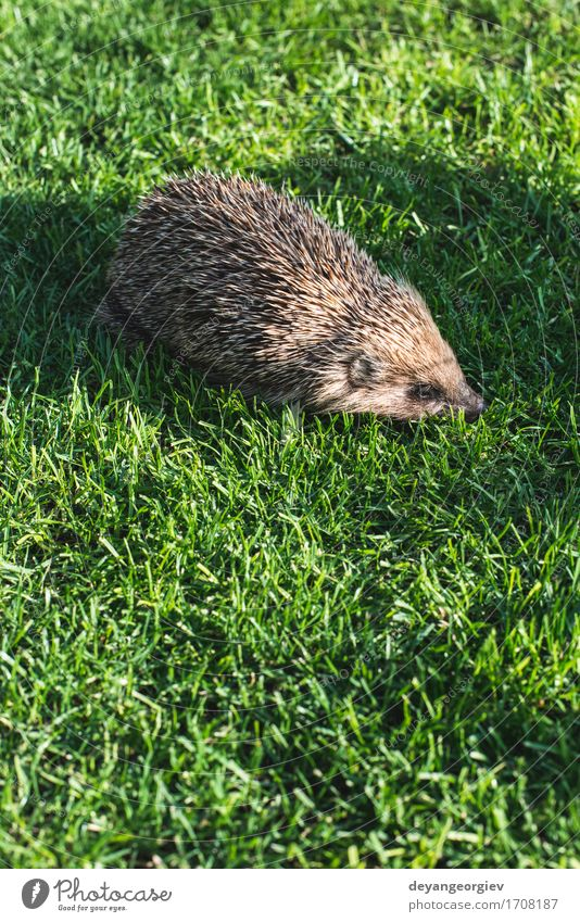 Hedgehog on a mountain meadow Nature Plant Summer Green Animal Forest Natural Grass Small Garden Brown Wild Lawn Seasons Mammal Thorny