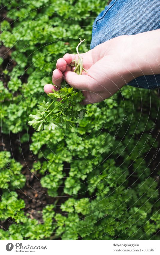 Picking parsley in a home garden Vegetable Herbs and spices Pot Garden Gardening Nature Plant Leaf Growth Fresh Natural Green Colour Parsley Home food Organic