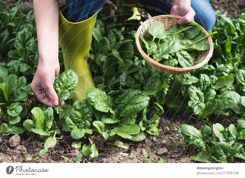 Picking spinach in a home garden Nature Plant Green Hand Landscape Leaf Natural Garden Growth Fresh Ground Vegetable Farm Harvest Agriculture Rural