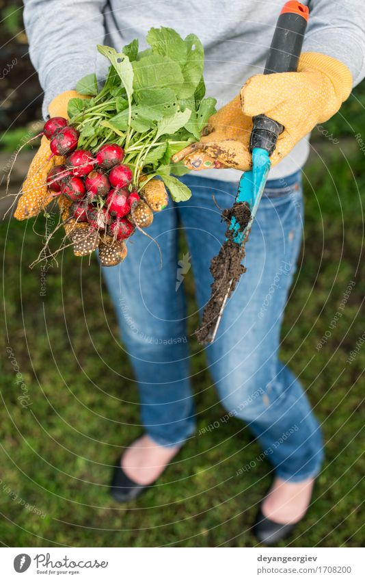 Woman hold bunch of radishes Vegetable Vegetarian diet Summer Garden Gardening Adults Hand Nature Plant Fresh Green Red Radish Organic agriculture healthy food