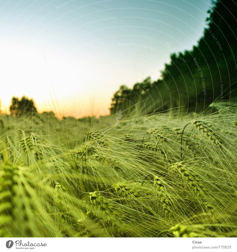Cornfield without bed Colour photo Exterior shot Deserted Copy Space top Evening Twilight Sunlight Sunrise Sunset Shallow depth of field Forward Environment