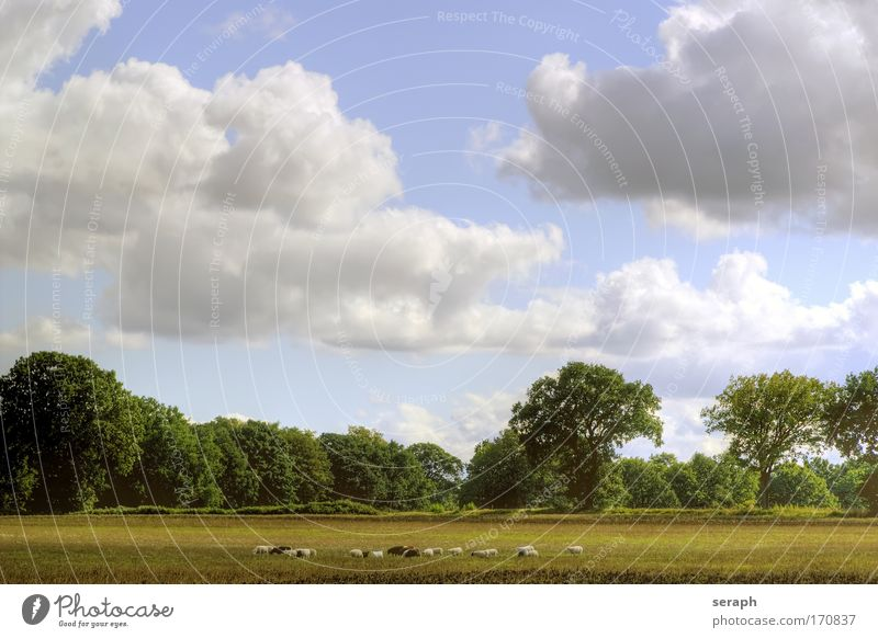 Tree Forest Meadow Grass Freedom Heaven Landscape Agriculture Plant Sheep Mammal Grassland Wool Domestic cat Verdant