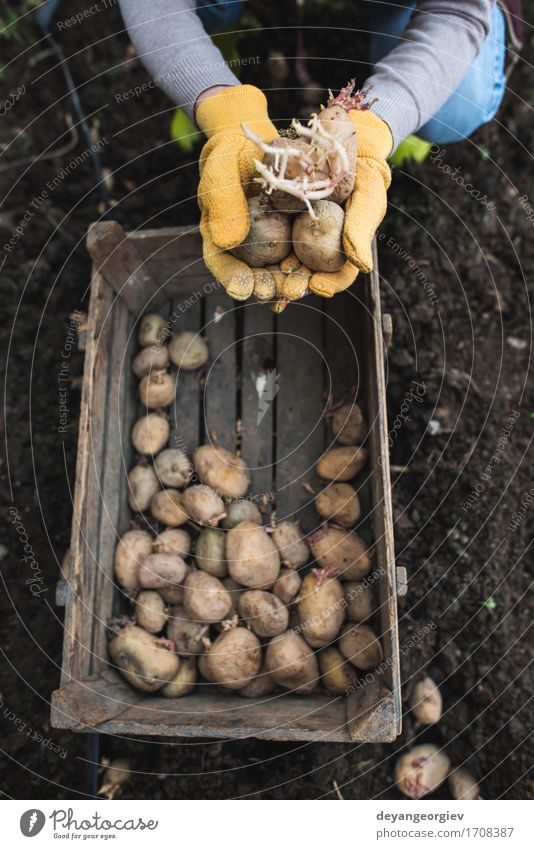Planting potatoes Vegetable Garden Gardening Woman Adults Hand Nature Earth Growth Fresh Natural Potatoes seed food Organic Crate agriculture spring Root Sprout