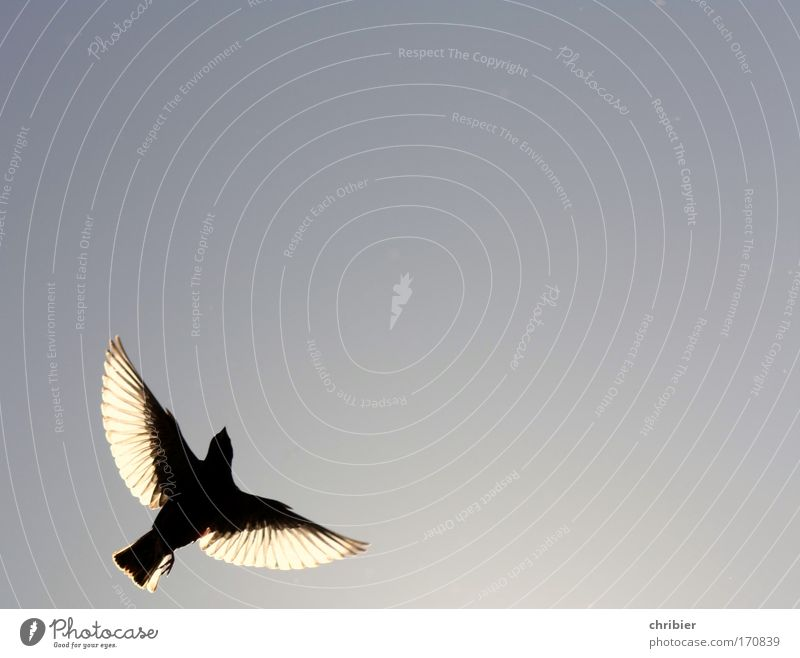 If I take wings... Exterior shot Copy Space right Copy Space top Contrast Silhouette Light (Natural Phenomenon) Back-light Nature Animal Air Sky Bird Wing