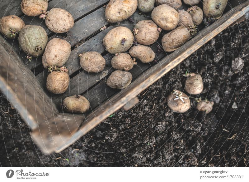 Planting potatoes Vegetable Garden Gardening Nature Earth Growth Fresh Natural Potatoes seed food Organic Crate agriculture spring Root Sprout Farm Ground field