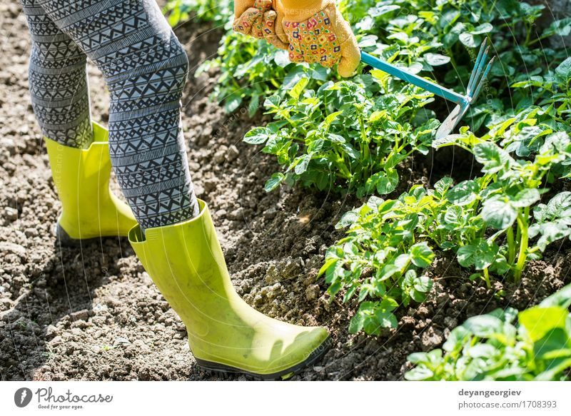 Hoeing potatoes Summer Garden Work and employment Gardening Tool Human being Man Adults Hand Plant Earth Green Potatoes Farmer agriculture Ground field people