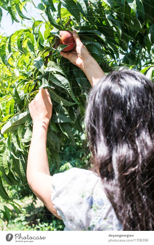 Woman picking peaches Fruit Diet Juice Summer Garden Gardening Adults Hand Tree Growth Fresh Delicious Juicy Green Red Peach branch Harvest orchard Farmer ripe