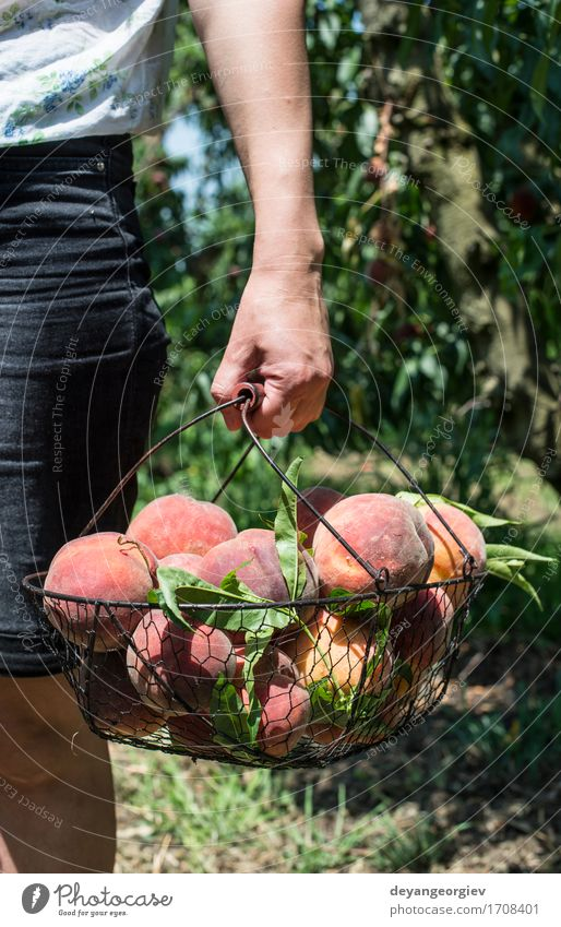 Woman hold basket with peaches Fruit Diet Juice Summer Garden Gardening Adults Tree Growth Fresh Delicious Juicy Green Red Peach branch Basket Harvest orchard