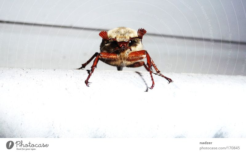 White Animal Movement Brown Exceptional Threat Curiosity Observe Beetle Crawl May May bug