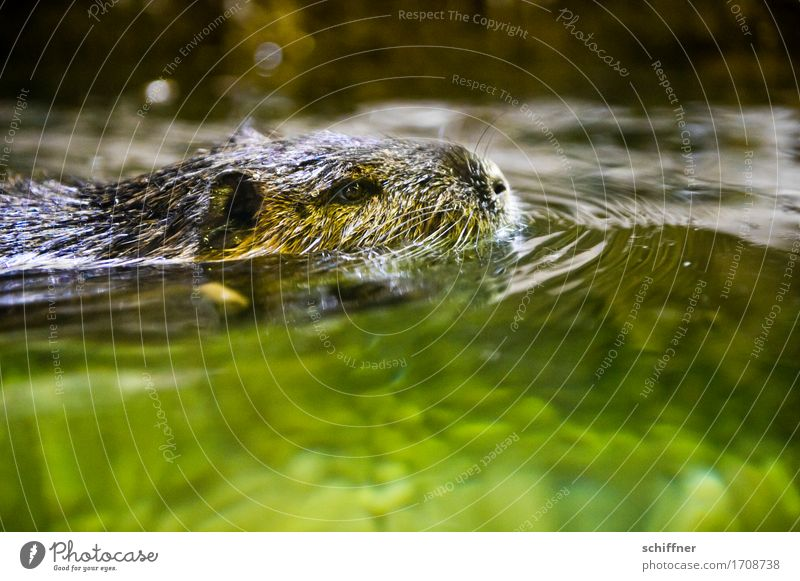 Up to the neck Animal 1 Swimming & Bathing Green Nutria water rat Water Surface of water Animal face Animal portrait Ear Nose Wet Reflection Waves Steadfast