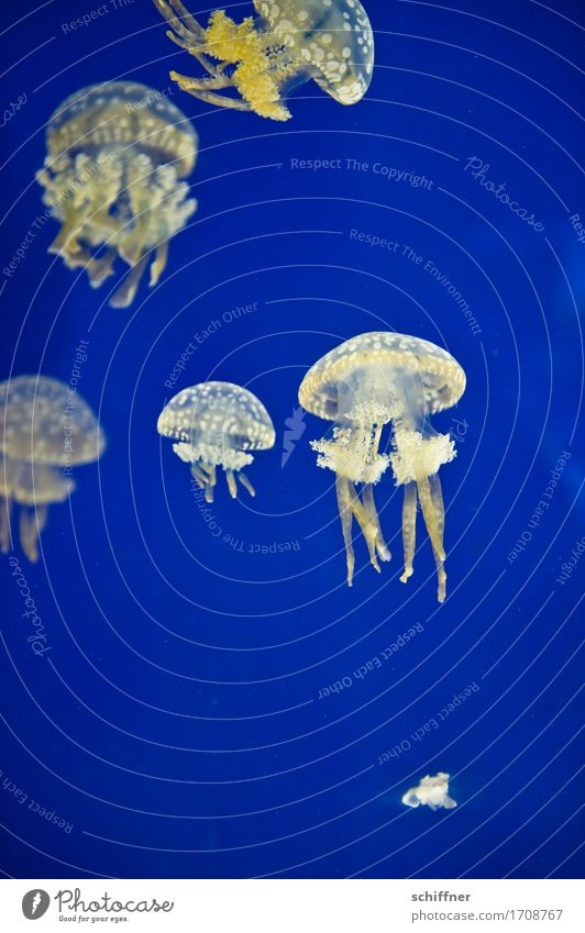 Blue White Animal Yellow Swimming & Bathing Group of animals Hover Flock Aquarium Jellyfish Tentacle
