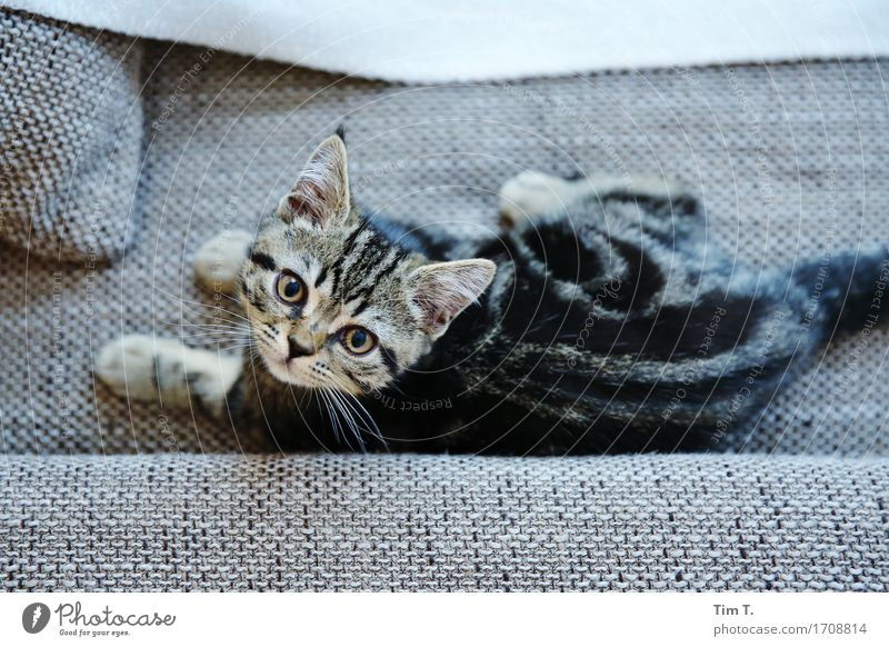 house cat Animal Pet Cat Animal face Pelt 1 Baby animal Considerate Domestic cat Sofa Relaxation Colour photo Interior shot Deserted Day Rear view