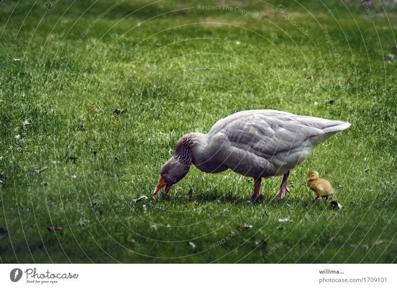 Animal Baby animal Meadow Protection To feed Goose Farm animal Chick Protect Gosling