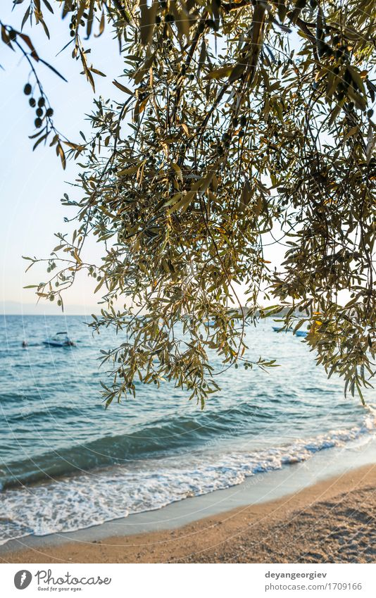 Olive trees, sea and sunse Beautiful Vacation & Travel Tourism Summer Sun Beach Ocean Island Mountain Garden Nature Landscape Sky Tree Blue olive Sunset Sicily