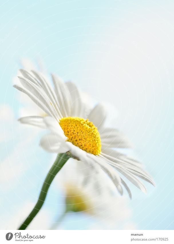 Nature Beautiful Sky White Flower Plant Summer Calm Yellow Relaxation Style Blossom Spring Bright Design Fresh