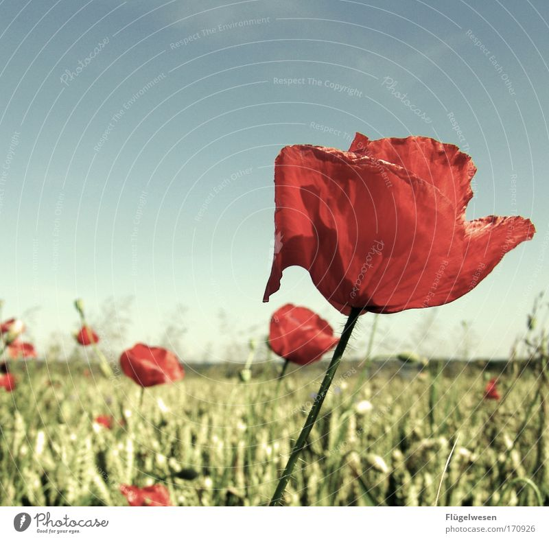 Nature Beautiful Flower Plant Animal Meadow Blossom Landscape Field Environment Trip Blossoming Poppy Wheat Foliage plant Complex