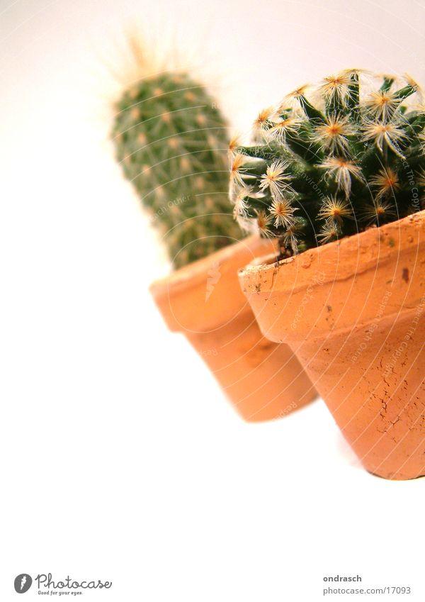 Cactuses =) Succulent plants Plant Dry Chamber pot Room Window Thorn peaks Desert