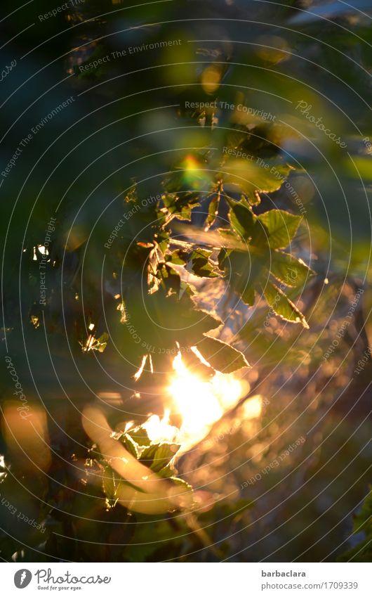 billich   Solar Energy Plant Elements Sun Bushes Leaf Garden Illuminate Bright Moody Warm-heartedness Power Nature Environment Colour photo Exterior shot