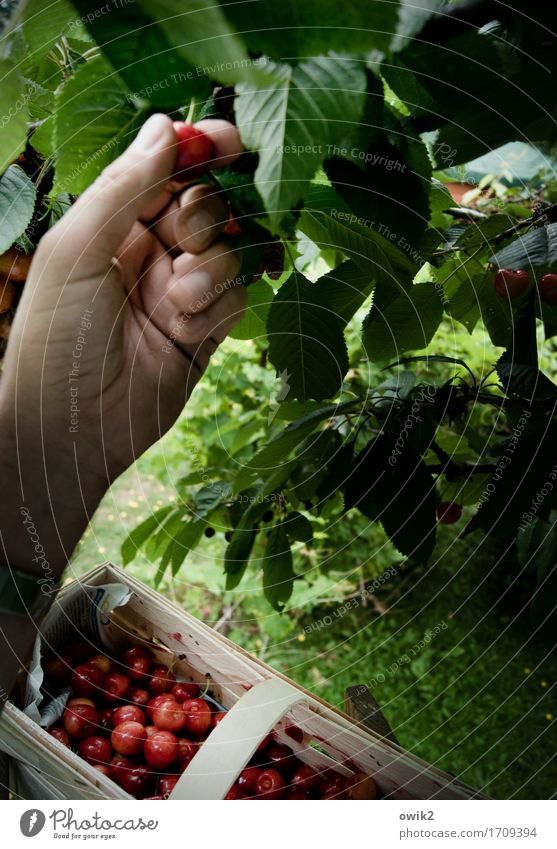 Fresh from the tree Hand Fingers Environment Plant Summer Climate Beautiful weather Tree Leaf Cherry Chip basket Work and employment To enjoy Success Attentive