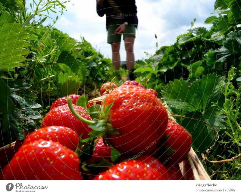 Red Summer Nutrition Field Glittering Fruit Fresh Harvest Attempt Strawberry Pick Working in the fields Fruit basket Seasonal farm worker