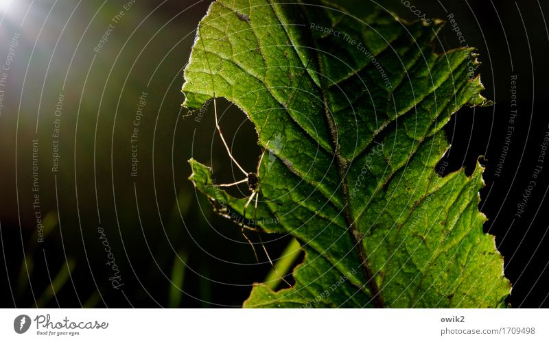 closing time Environment Nature Plant Animal Beautiful weather Warmth Leaf Spider daddy-long-legs 1 Crawl Wait Thin Natural Green Contentment Safety Protection