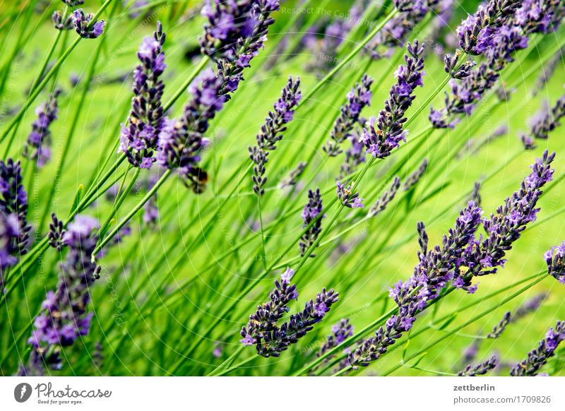 lavandula Aromatic Flower Blossoming Decoration Garden Herbs and spices Grass Medicinal plant Garden plot Deserted Lawn Summer Copy Space Lavender Meadow