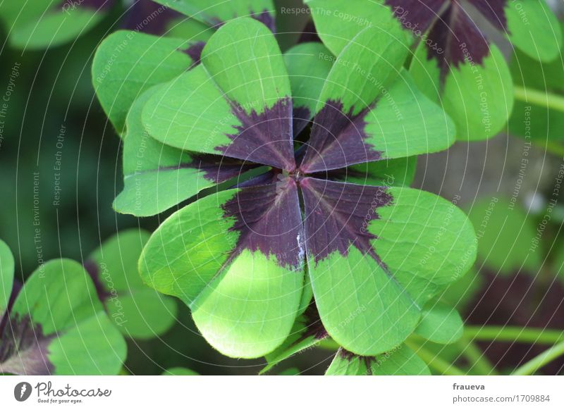 lucky clover Nature Plant Animal Summer Beautiful weather Grass Leaf Foliage plant Wild plant Garden Growth Colour photo Exterior shot Close-up Detail