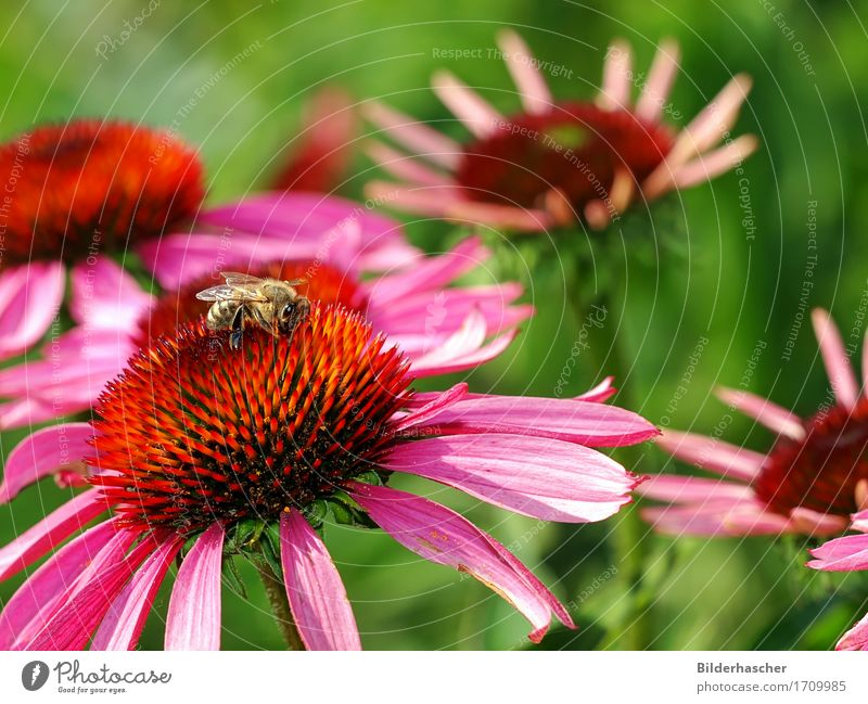Bee on blossom Honey bee Purple cone flower Rudbeckia Insect Flying insect Blossom Flower Summerflower Flowering plants Daisy Family Bouquet Blossom leave