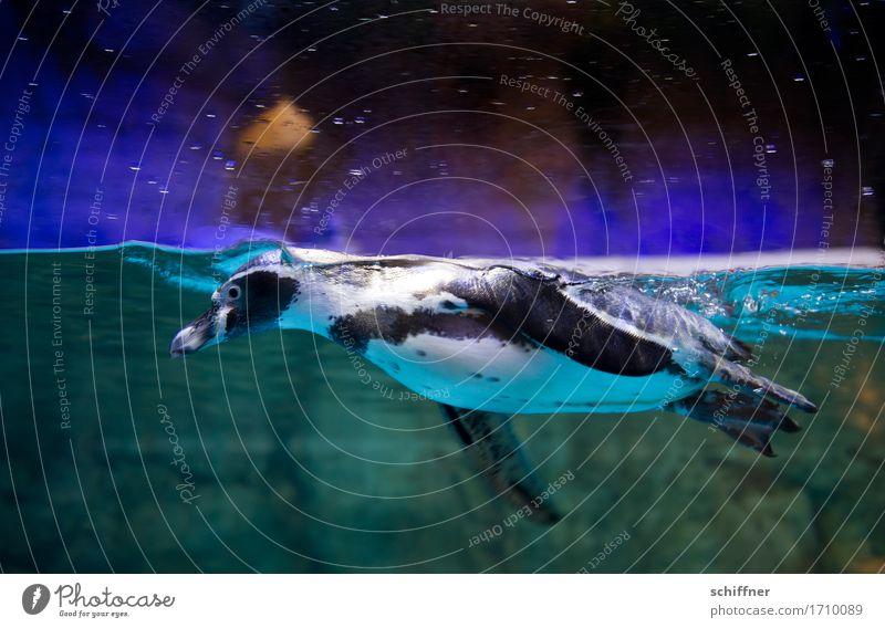 Water Animal Swimming & Bathing Wing Dive Zoo Hover Aquarium Penguin