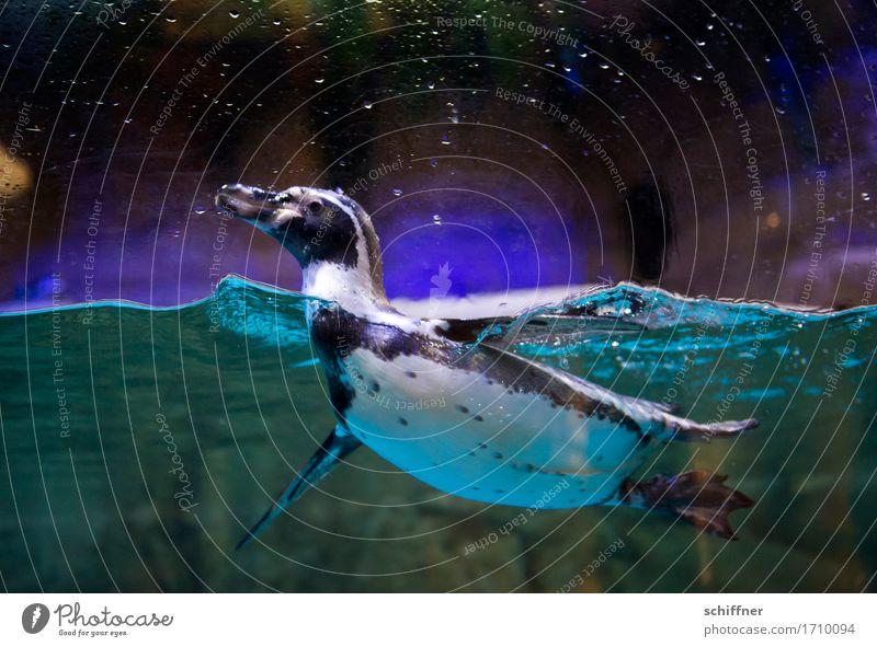 Water Animal Dark Black Funny Swimming & Bathing Bird Zoo Aquarium Penguin Paddling