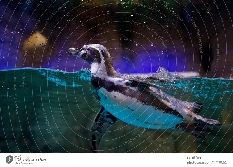 Water Animal Dark Swimming & Bathing Violet Float in the water Turquoise Watchfulness Zoo Surface of water Aquarium Penguin