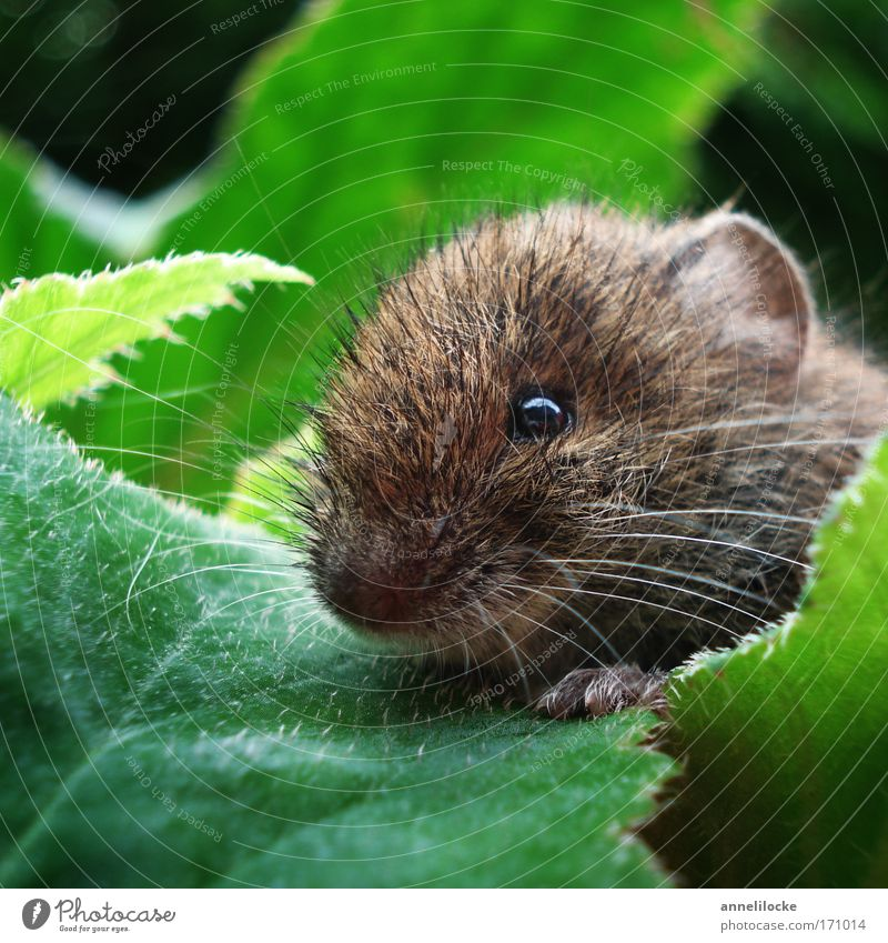 Mouse in a flower bed Environment Nature Animal Summer Beautiful weather Plant Leaf Foliage plant Park Wild animal Animal face Pelt Paw 1 Observe Catch Crouch