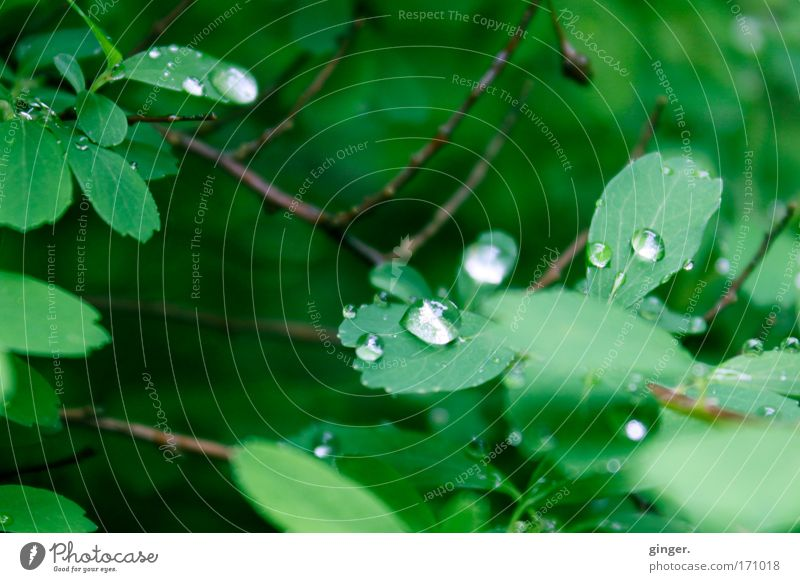 Have you ever seen the rain? Nature Plant Water Drops of water Weather Rain Bushes Leaf Fresh Glittering Wet Natural Green Twigs and branches Contrast Bright