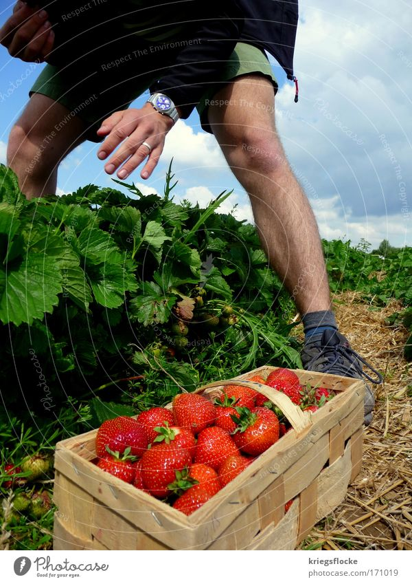 I'll pick you... Fruit Strawberry Human being Masculine To enjoy Red Pick Colour photo Exterior shot Day Men's leg Basket Sweet Fruity Harvest Men`s hand