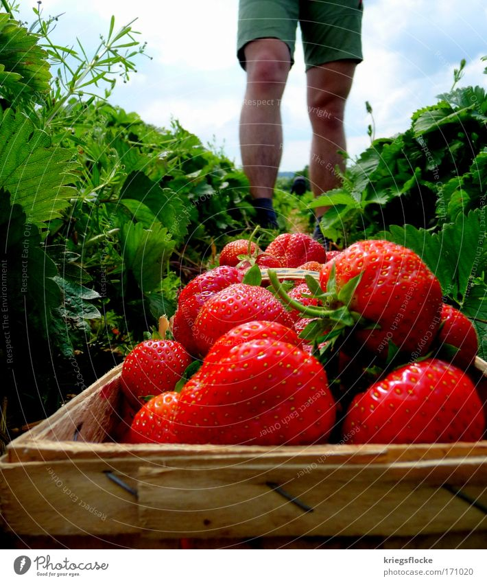 Red Summer Field Healthy Glittering Fruit Fresh Delicious Harvest Shorts Strawberry Juicy Summery Pick Fruit basket Men's leg