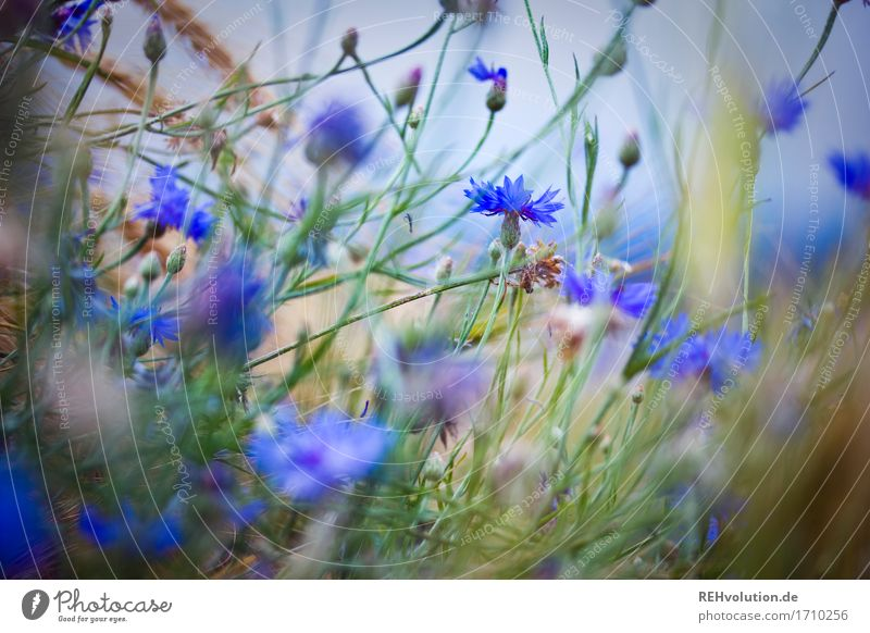cornflowers Environment Nature Plant Summer Flower Field Blossoming Natural Moody Cornflower Colour photo Subdued colour Exterior shot Day Blur
