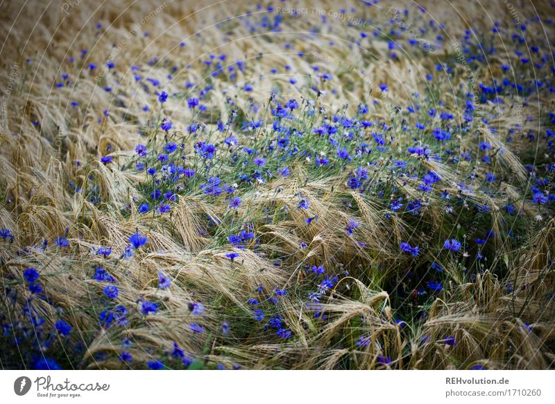 cornflowers Environment Nature Landscape Plant Flower Blossom Agricultural crop Blossoming Sustainability Natural Blue Agriculture Cornfield Cornflower