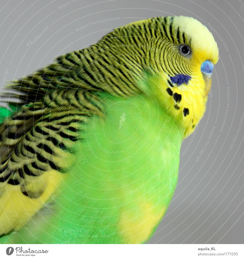 Animal Bird Wild animal Feather Wing Point Pet Beak Australia Parrots Undulation Budgerigar