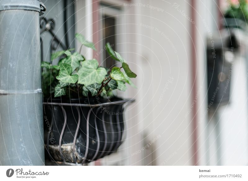 AST9 | Greenery Plant Ivy Leaf Foliage plant Pot plant Small Town Wall (barrier) Wall (building) Eaves Authentic Window box Colour photo Subdued colour