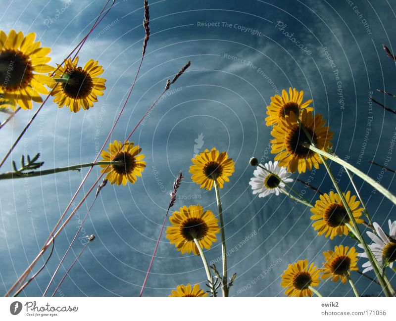 Flowers without coffee Environment Nature Landscape Plant Sky Clouds Blossom Marguerite Meadow Blossoming To swing Growth Fresh Beautiful Natural Wild Blue