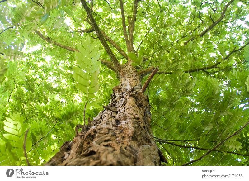Robinia Tree Ancient Atmosphere bark Branched Branchage Canopy (sky) crown of tree Crust filigree flora Leaf Forest Growth Leaf canopy light Nature Interlaced