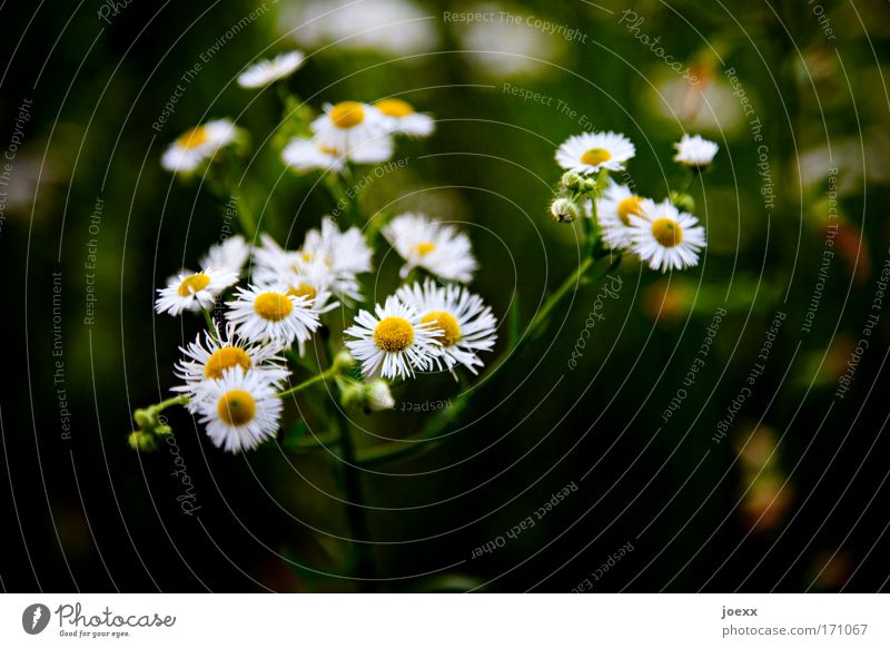 florid Colour photo Exterior shot Detail Copy Space bottom Day Shadow Shallow depth of field Nature Plant Flower Meadow Esthetic Daisy