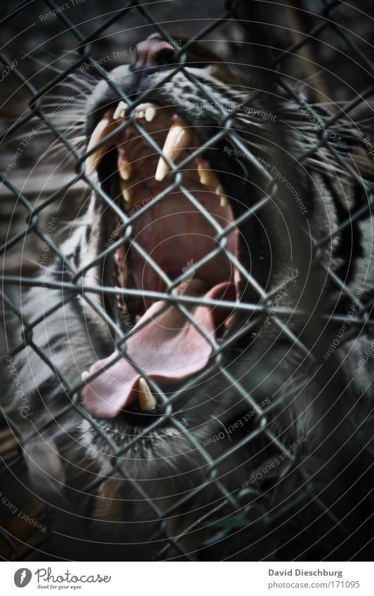 Cat Nature White Animal Black Power Wild animal Dangerous Nose Pelt Animal face Set of teeth Zoo Anger Fence Fatigue
