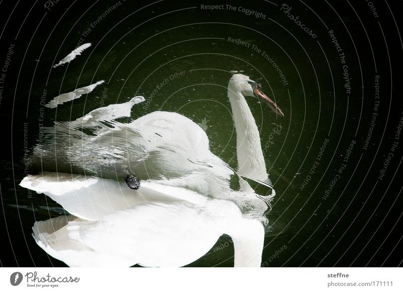 swant evil to me Subdued colour Exterior shot Experimental Copy Space top Reflection Animal portrait Swan 1 Love of animals Loyalty Beautiful Pride