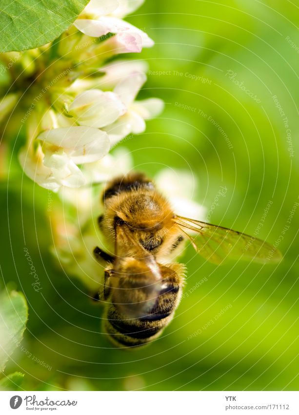 Green Plant Summer Flower Animal Yellow Environment Warmth Blossom Flying Action Wing Drinking Beautiful weather Blossoming Bee