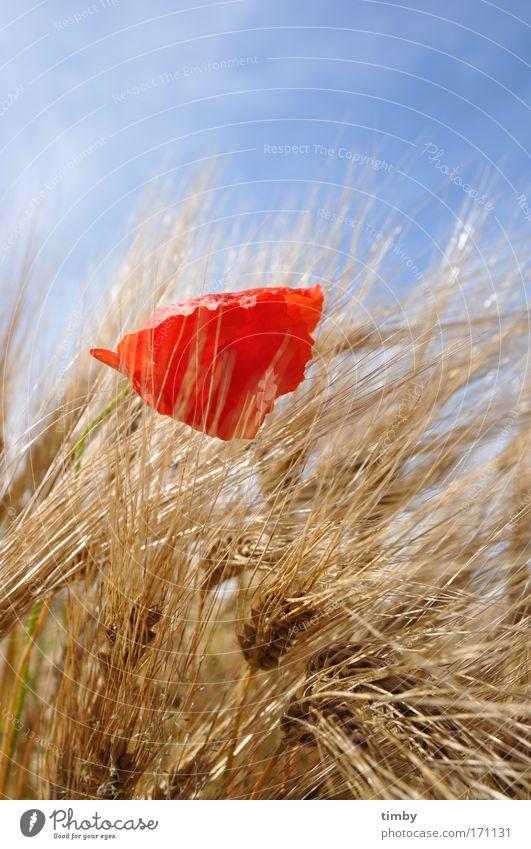 Nature Red Summer Natural Blossoming Poppy Barley