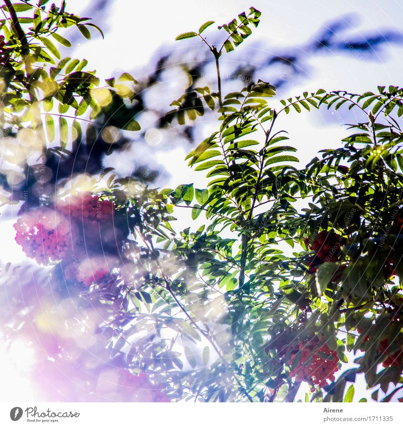 bright tree Plant Sunlight Summer Autumn Tree Rowan tree Rawanberry Twigs and branches Leaf Fruit Berries Berry seed head Garden Glittering Illuminate Dream