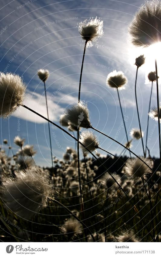 puschelgestöber Environment Nature Plant Sky Sun Summer Beautiful weather Bushes Wild plant wooly plant Meadow Movement Blossoming Illuminate Esthetic