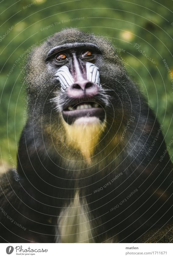 mask wearer Animal Animal face Pelt 1 Athletic Brown Yellow Green Pink White Monkeys Show your teeth Grass Colour photo Subdued colour Exterior shot Close-up